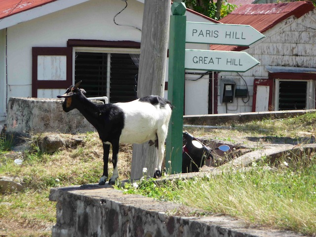 Goats on Saba