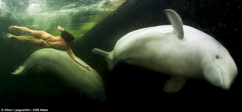 Swimming with beluga whales