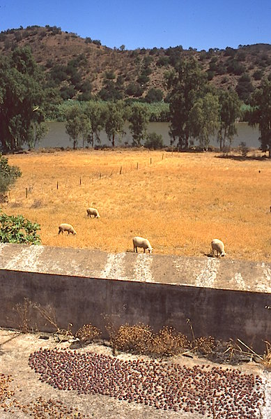 Guadiana sheep