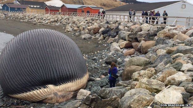 Bloated dead whale